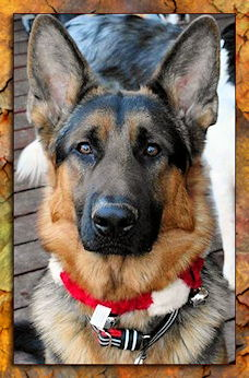 Kriegershaus German Shepherds German Shepherd Breeder